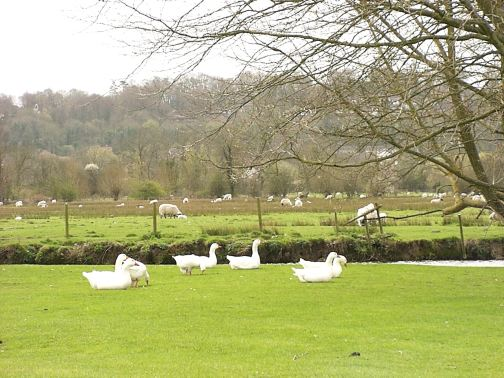 sheep and geese along the River Avon