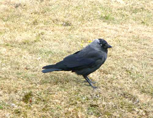 Jackdaw in Stirling Castle