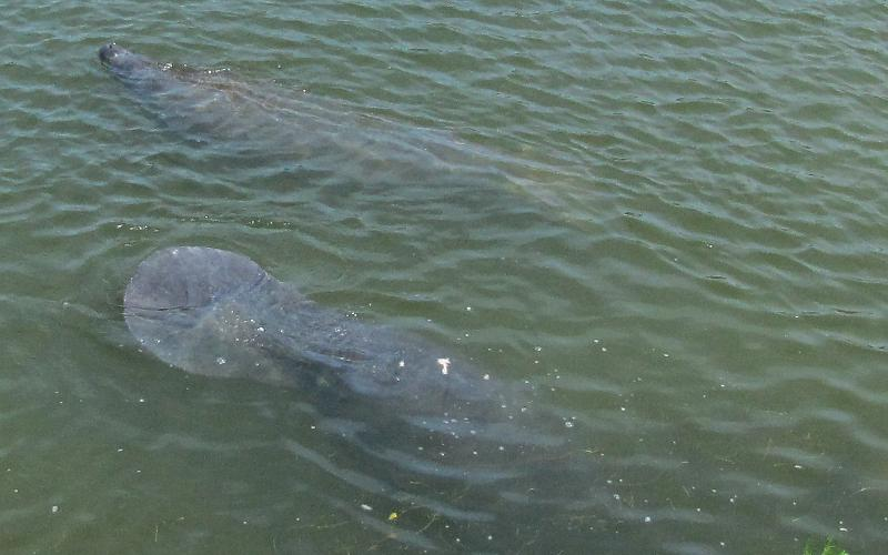Manatees (Trichechidae Trichechus)