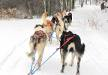 Dog sledding at Boyne Higlands in Harbor Springs, Michigan